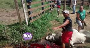 Abate de Boi foi flagrado no Povoado Embrapa em Penedo / Foto: Boa Informação